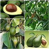 Portal Cool 10Pcs Seltene Avocado Samen Riesen-Frucht Blumen Bonsai Topfpflanzen Dekor Garten