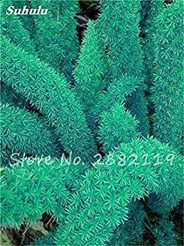 semi plat firm-120 pezzi rari semi wuboo coda di volpe ornamentale bonsai piante da giardino perenni indoor semi vaso fresh air facile da coltivare 10