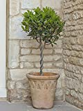 Plaited Stem Mini Standard Bay Trees 60cm tall (Pair of 2)