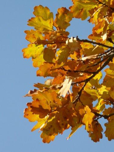 Traubeneiche 50 bis 80 cm im Topf/Cont. – Baum des Jahres 2014