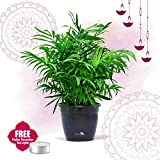 Nurturing Green Air purifying NASA recommended Chamaedorea Palm Plant in Black Pot for home (Live Indoor Dwarf Areca Palm Plant with pot for living room, bedroom, office, table top etc) | FREE tea light | Diwali Gifting