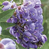 PLAT FIRM GERMINATIONSAMEN: 100 Lila Wisteria-Blumensamen Stauden Kletterpflanze Rebe Seed-Hausgarten
