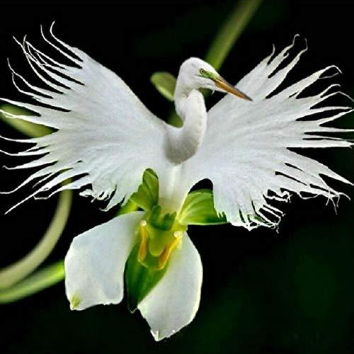Bloom Green Co. bonsaïs 100 pcs/paquet japonais Radiata Aigrette Orchid World & # 39; Rare Orchid EspÚce Blanc Baison Fleurs Orchidee Jardin