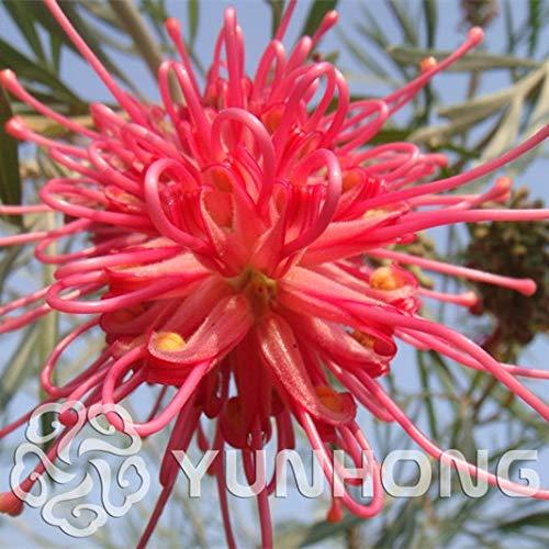 Pinkdose Vente chaude 50 Pcs/sac Rare Grevillea Fleur Natif Australien Rouge Jardin Maison Bonsaï Fleur Exotique Bonsaï À Vendre