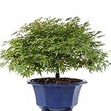 Bonsai - Acer palmatum Kiyohime, Japanischer Fächerahorn, Shohin aus Japan-Import 185/82