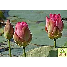 Liveseeds - Bonsai Lotus / Bowl Pond Lotus Nenúfar flower5 India loto semillas