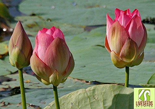 liveseeds-bonsai-lotus-bowl-pond-lotus-giglio-di-acqua-di-fiori-5-indiano-semi-del-loto