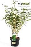Horstbildender Bambus