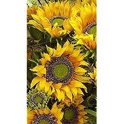 Shopmeeko 40 Stück Riesige Sonnenblumenpflanze Blumenpflanzen Seltene Bonsai Topfpflanzen Bonsai Russische Sonnenblumenpflanzen für Hausgarten Semillas: Blau