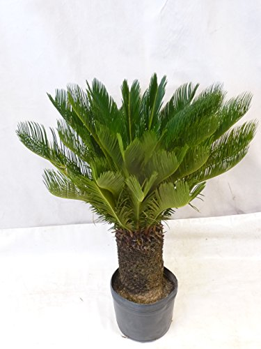 Cycas revoluta Sagopalme Palmfarn 110 cm, Stamm 30 cm