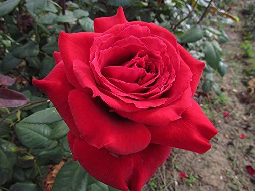 Shop Meeko ROUGE DE PROVENCE PERFUME - Rose Garden hybride à racines nues Bush - Grande sombre fleurs rouges - Parfum fort