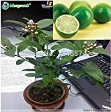 Promotion! 50 Seeds Lemon Seeds Indoor, Outdoor, Bonsai Seeds Edible Green Lemon Seeds, Organic Food, Tea Gift