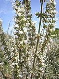 Asklepios-seeds - Salvia apiana, 150 Samen, Indianischer RäucherSalbei, Weißer Salbei white sage