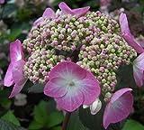 Bauernhortensie Twist n Shout - Gartenhortensie - Hydrangea macrophylla Twist n Shout - Endless Summer
