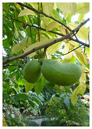TROPICA-Paw-Paw Indianerbanane (Asimina triloba) - 4 Samen