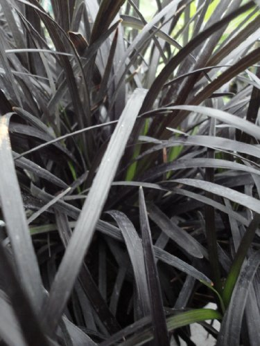 ophiopogon-planiscapus-nigrescens-black-dragon-lilygrass-1-litre-pot-multi-stemmed-plant-evergreen