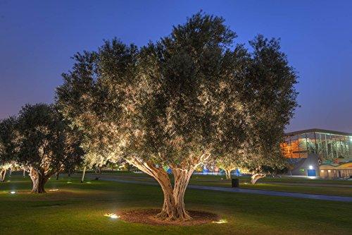 Riesiger Hochstamm Olivenbaum Olea europaea Frosthart bis -10 Grad Gesamthöhe ca.230-240 cm. Davon Stammhöhe ca. 100 cm. Frisch aus der Baumschule