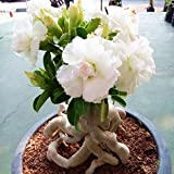 Wekold Weiße Rose Samen Garten Blume Bonsai Pflanzensamen