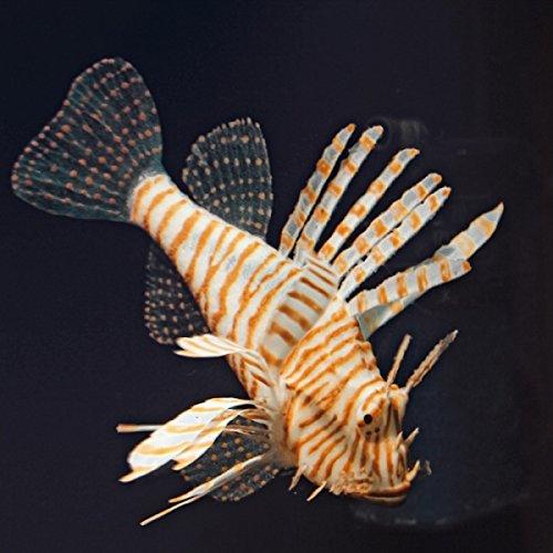 Fische Löwe XL