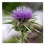 Mariendistel - Silybum marianum - Zier- und Arzneipflanze - 100 Samen