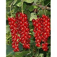Portal Cool Pasa Roja Rowada Listo fructificación Pot 13/14