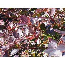 """10 Stück Berberis thunbergii """"Atropurpurea"""" * (Blut- Berberitze), Wurzelware, Berberitzenhecke, Heckenpflanzen * 4- 5 Triebe 40-60 cm"""