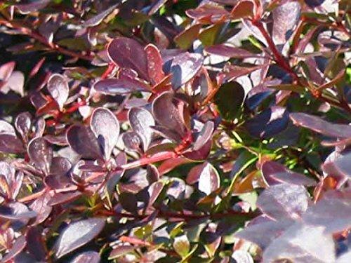 """25 Stück Berberis thunbergii """"Atropurpurea"""" * (Blut- Berberitze), Berberitzenhecke, Heckenpflanzen * Topf 3 Liter 40-60 cm"""