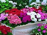 semi 100pcs Geranio in vaso stagioni balcone impianto Pelargonium in vaso che spuntano 95% semi di fiori di colore misto + regalo libero della Rosa