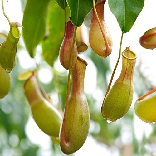 Kannenpflanze  <strong>Lebensdauer</strong>   Mehrjährig