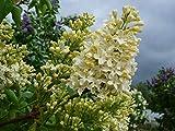 Fliedertraum Syringa vulgaris 'Primrose' Topf Gartenpflanze, 7,5 L, Flieder, Hell Gelb Blühend, 60-80 cm