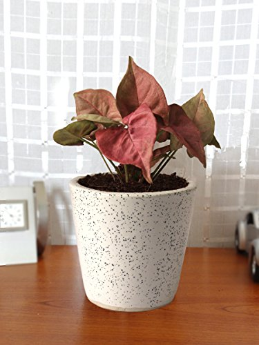 Rolling Nature Good Luck Air Purifying Live Pink Syngonium Plant in White...