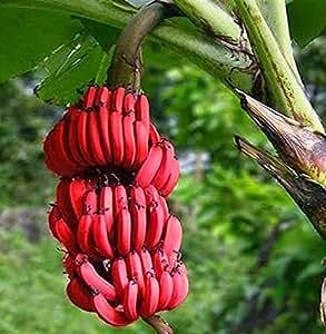 Futaba Rare Red Dwarf Banana Seeds - 100 Pcs