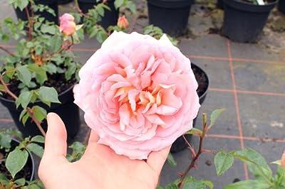Englische Rose Abraham Darby ® Auscot ® Containerrosen im großen 7,5 Liter Topf von Gartencenter Bartels bei Du und dein Garten