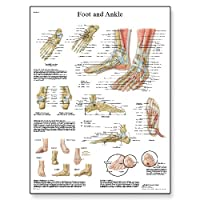 3B Scientific Human Anatomy - Foot and Joints of Foot Chart