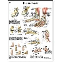 3B Scientific Lehrtafel Fuß und Gelenke Anatomie/Pathologie