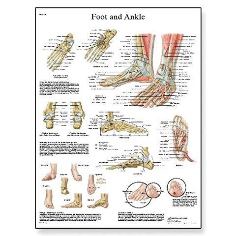3B Scientific - Anatomie humaine - pieds et articulations Anatomie/Pathologie Tableau