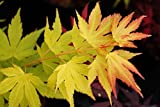 Ahorn Fächerahorn Orange Dream Acer palmatum Orange Dream Containerware