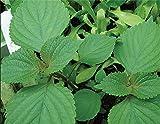 PlenTree Las semillas de vainilla verde Cotiledones semillas 80 semillas -Comprar 4 artículos