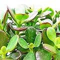 Crassula portulacea minor - Pfennigbaum - Solitär Pflanze - 20cm von exotenherz auf Du und dein Garten