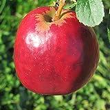 Müllers Grüner Garten Shop Roter Gravensteiner Herbstapfel saftig süß duftend Hochstamm 180 cm Stamm wurzelnackt Sämling