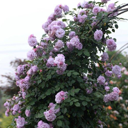 Rosepoem Jardin Maison Balcon Clôtures Décor Plantes Fleurs Couleurs brillantes Parfum odorant 100 PCS