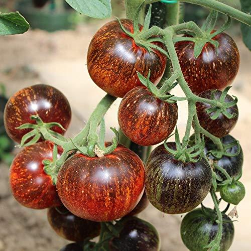 10 Samen Dark Galaxy Tomate – außergewöhnlicher Farbverlauf, saftig