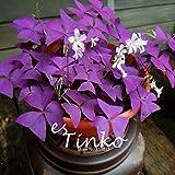 1 Profi-Pack Oxalis Triangularis Samen Lila Kleeblatt Pflanze Beste Grünpflanze Hausgarten Bonsai Blumensamen