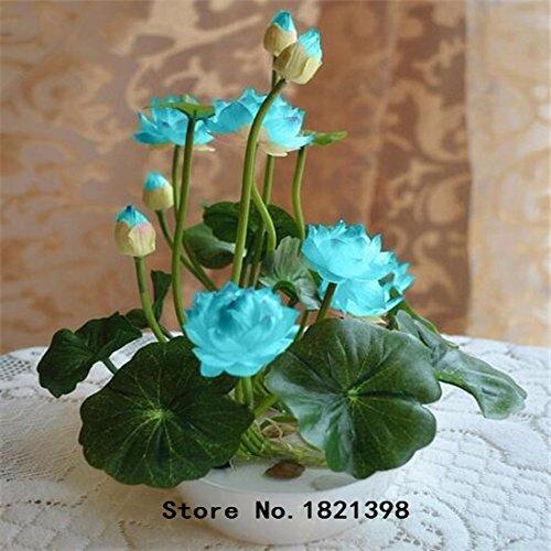 Lotus Blume, Samen (Lotus-Samen, b Lotus Samen seltene Wasser Blume Pflanze Samen zum Anpflanzen Hausgarten - 5 Stück)