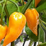 Fatalii gelb - scharfes Chili - Peperoni - bis 325.000 SHU - 20 Samen