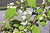 Schneeball, Duft-Schneeball, Winter-Schneeball 'Dart's Red Robin' - starke Pflanze im 5L Topf