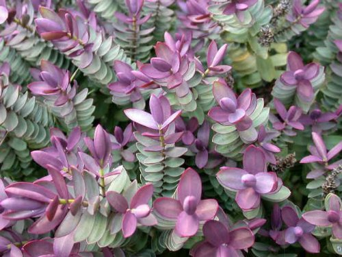 9cm-pot-hebe-red-edge-garden-edging-container-ground-cover-shrub-plant-lilac-blue-flowers