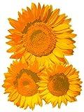 dpr. Fensterbild Sonnenblumen Herbst Fenstersticker Fensterdeko Herbstdeko