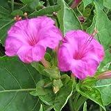 Mirabilis Jalapa Pink Seeds