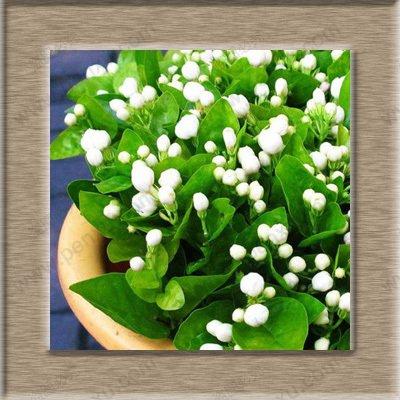 pure-semi-bianchi-del-gelsomino-piante-dappartamento-semi-di-fiori-perenni-cina-100-reali-semi-mirab